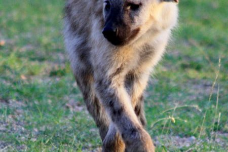 11 creepy facts about the hyenas