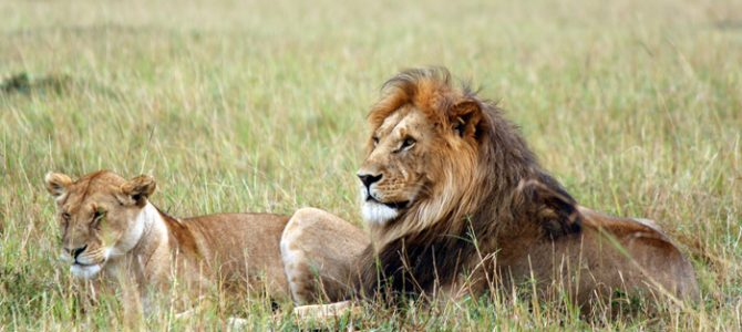5 scary facts about lions you should know